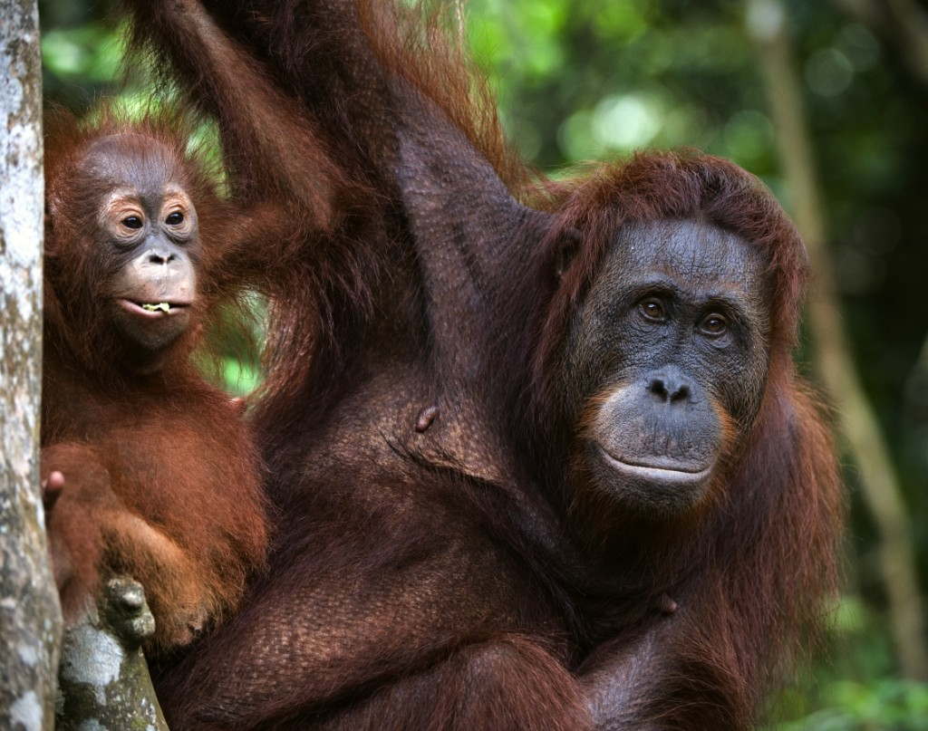 List your business on tree4 life and save the orangutan small